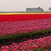 Tulips ~ Netherlands