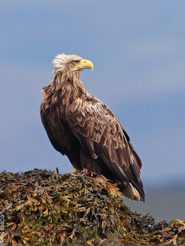 White-tailed Eagle (Haförn)-47-B | by sindri_skulason