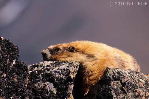 Olympic marmot | by Pat Ulrich