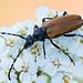 Long Horn Beetle on Yarrow