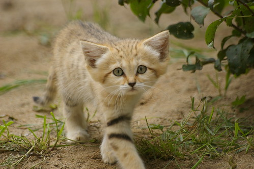 Sand cat kitten | by mellting