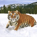 tiger_andyrouse_TG897A_00033