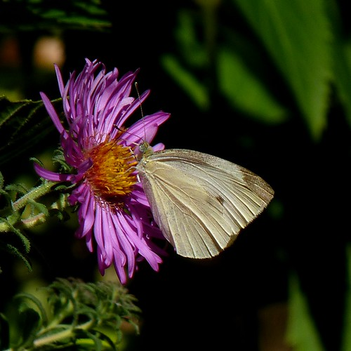 Cabbage White an at Aster | by Dendroica cerulea