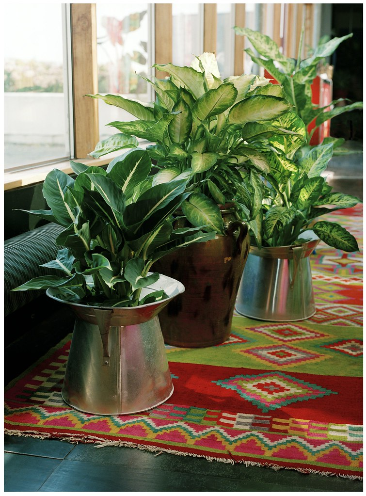 Dieffenbachien Gehoren Zu Den Beliebtesten Zimmerpflanzen Flickr