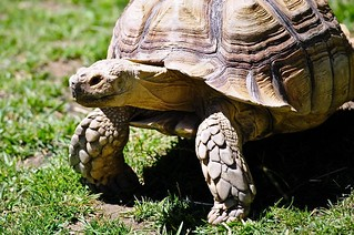 African Spurred Tortoise | by Potter Park Zoo