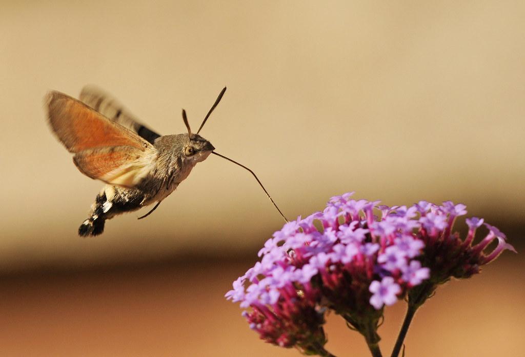Hummingbird Hawk Moth Just Outside My Kitchen Window I
