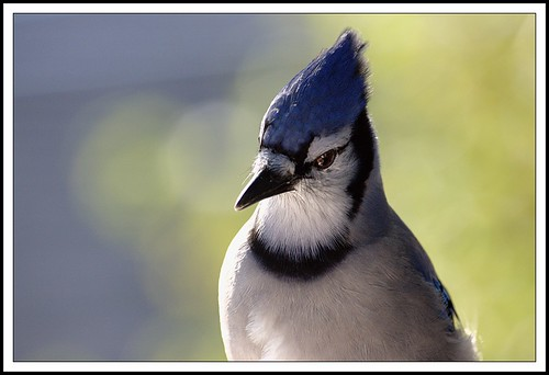 Blue Jay Portrait | by Iguanasan