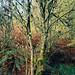Llandegla tree