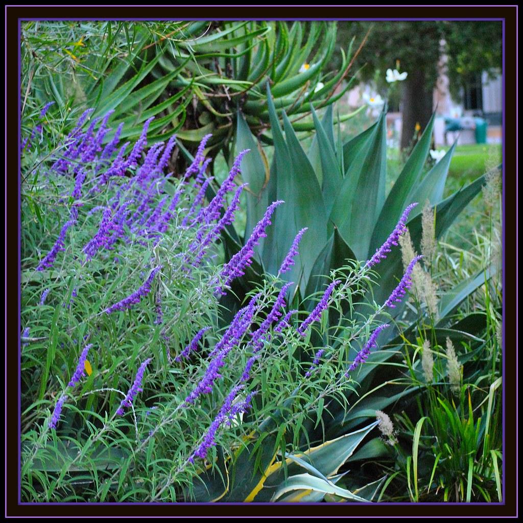 California 39 S Native Plants Display In Capitol Park Sacrame