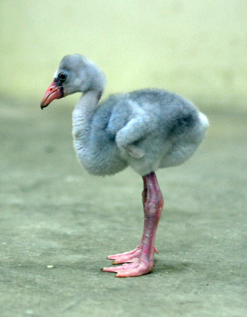 baby flamingo baby flamingo everland korea in cherl