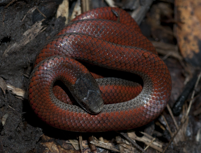 Northern Sharp Tailed Snake Contia Tenuis Small Red