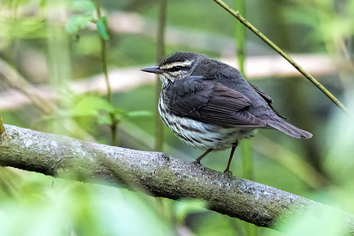 Forest Park: Louisiana Waterthrush?