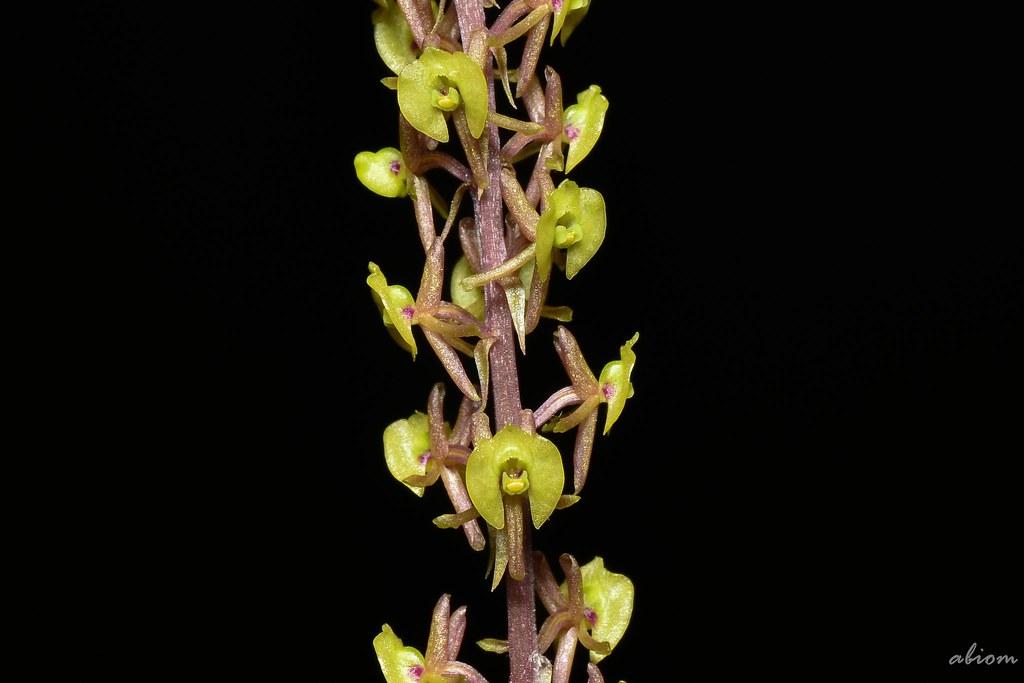 Malaxis calophylla