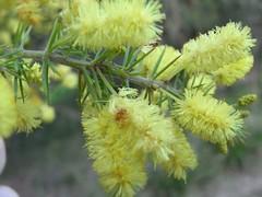 Acacia verticillata - Prickly Moses