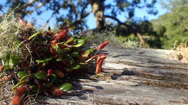 即將開花的附生蘭小攀龍
