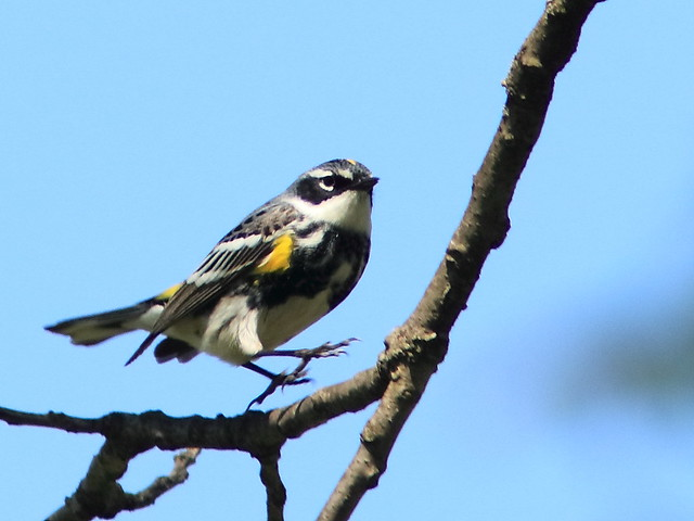 Yellow-rumped Warbler 20170512