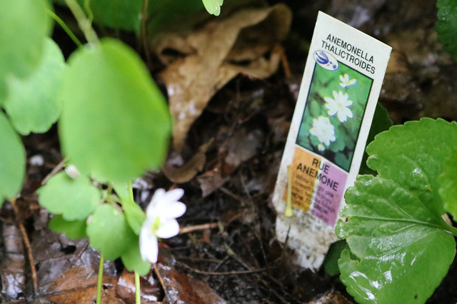 an out-of-focus white flower next to a plant tag that says rue anemone