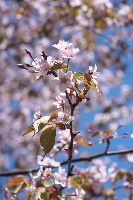20170504新川さくら並木の桜_14