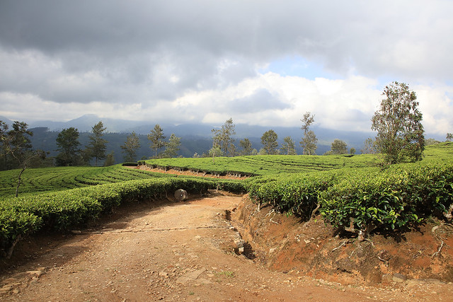 PW-Ceylon-Tea Country1
