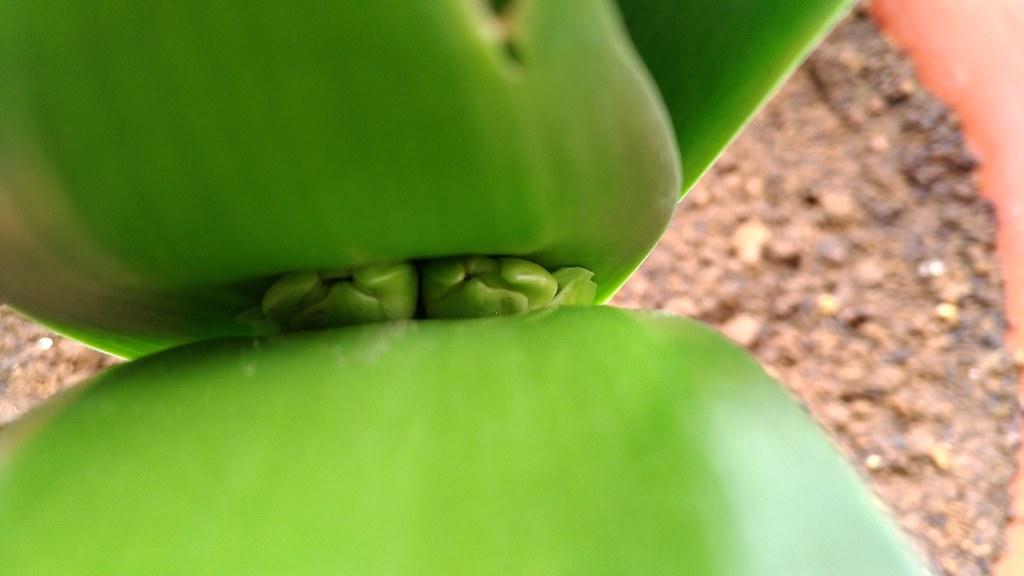 君子蘭の花芽