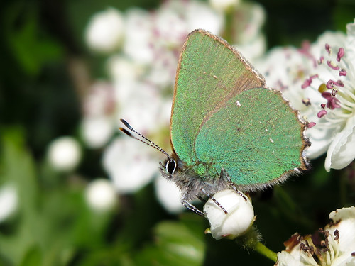 Green hairstreak male guarding his patch - poised ready to chase an intruder! | by Grantham Ecology