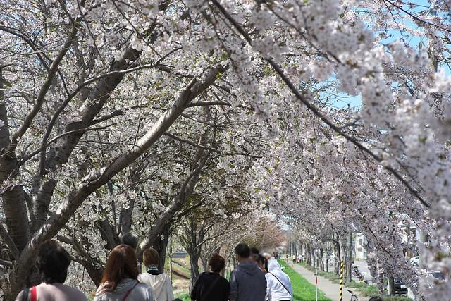 20170504新川さくら並木の桜_16