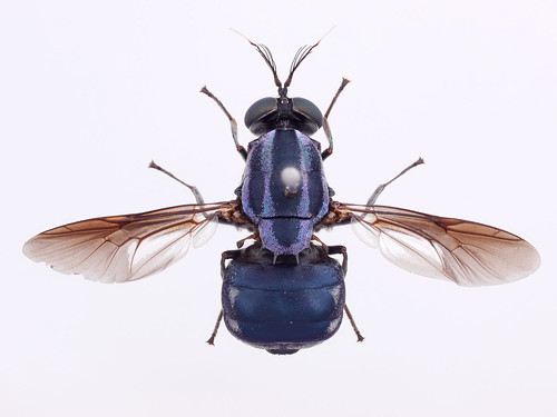 Stratiomyidae