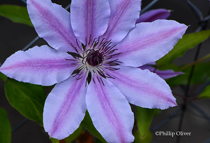 clematis-nelly-moser