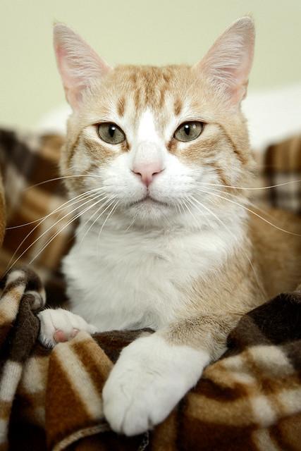 Robin, gato blanco y naranja guapo y súper dulce esterilizado, +inmunodeficiencia nacido en Marzo´15, en ADOPCIÓN ESPECIAL. Valencia. ADOPTADO. 34581638911_e3a6d571cf_z