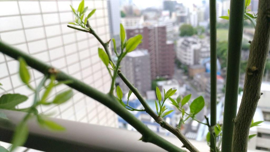 マナオの新芽