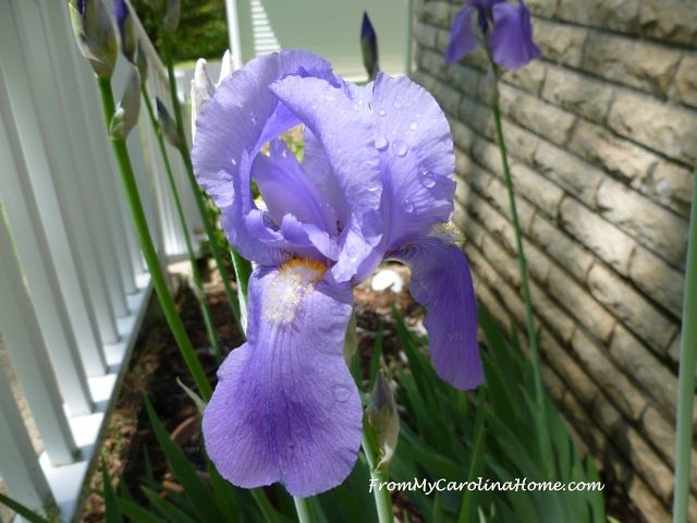 National Iris Day at From My Carolina Home