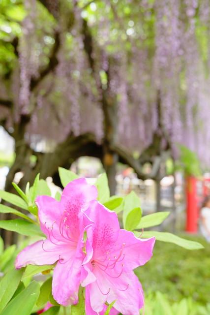 Kameido tenjin wisteria festival 2017 09