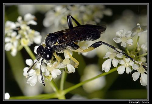 Macrophya montana mâle