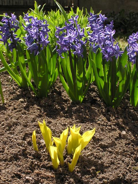 Hyacinthus orientalis 'Delft Blue' & Hosta 'Fire Island'