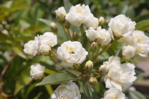Rosa Banksiae Alba Kyu-Furukawa Teien 11