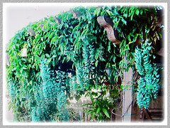 Numerous pendulous flower clusters of Strongylodon macrobotrys (Jade Vine, Emerald Vine/Creeper, Turquoise Jade Vine) over an arbour, 23 April 2017