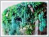 Strongylodon macrobotrys (Jade Vine, Emerald Vine, Emerald Creeper, Turquoise Jade Vine)