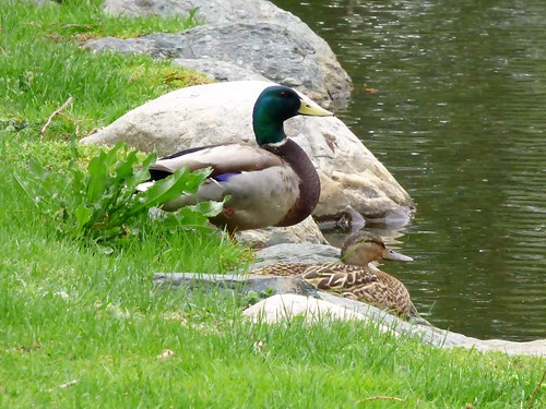Male and female mallard