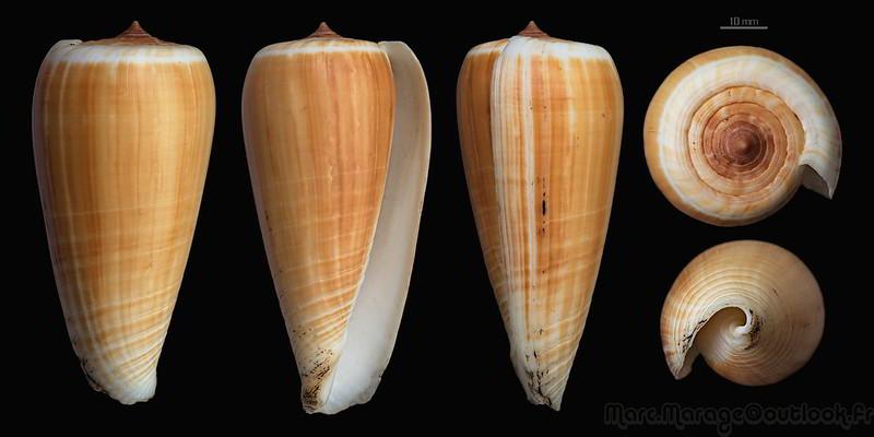 Conus (Phasmoconus) radiatus   Gmelin, 1791 34236886881_c070da8456_c