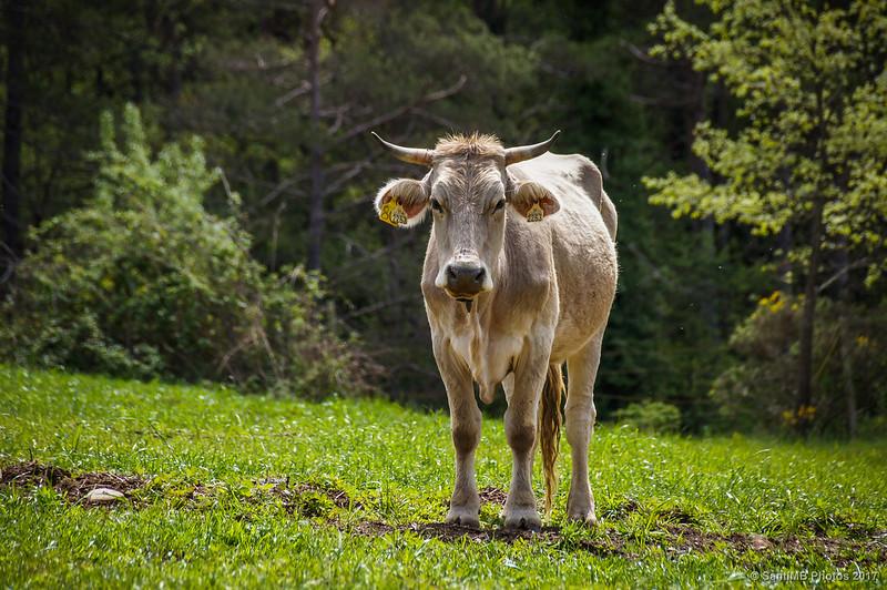 Una vaca pastando cerca del Molí de les Heures