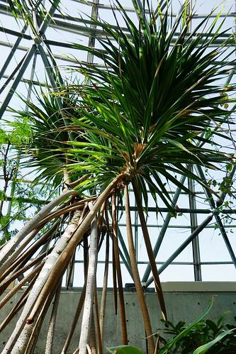 "Yumenoshima Tropical Greenhouse Dome_(2017_05_05)_10_resized_1 ""夢の島熱帯植物館"" で樹木を撮影した写真。"