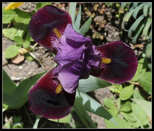Iris 'Cameroun' - Cayeux 1938 34415488110_a4f655334f