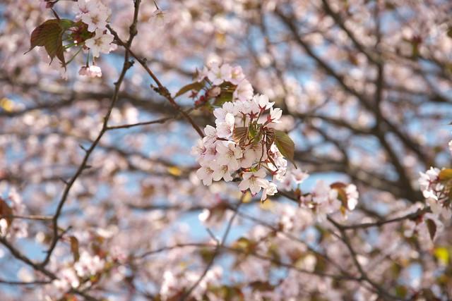 20170504新川さくら並木の桜_11