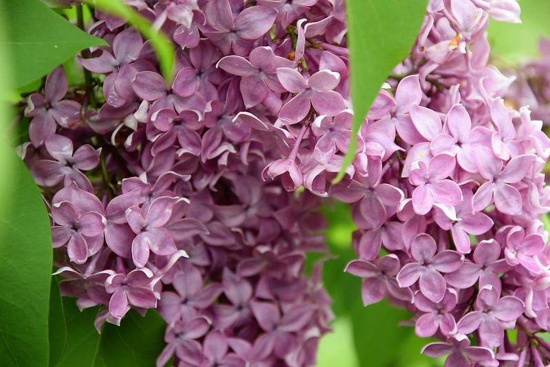 Lilac 08.05 (3)