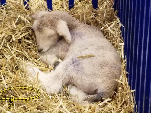 Dear Little Lamb