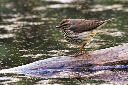 Forest Park: Northern Waterthrush