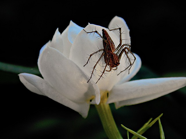 Spider on White beauty