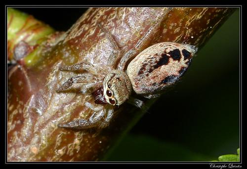 Icius sp femelle (probablement Icius subinermis)