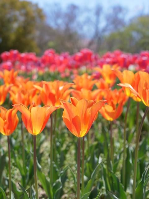 Tulip Festival (GXR A12 50mm)