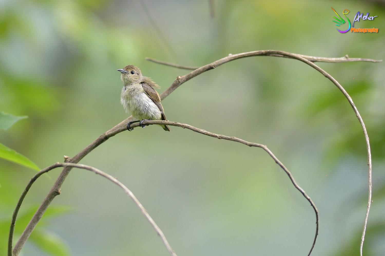Plain_Flowerpecker_5577